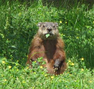 Groundhog,_eating